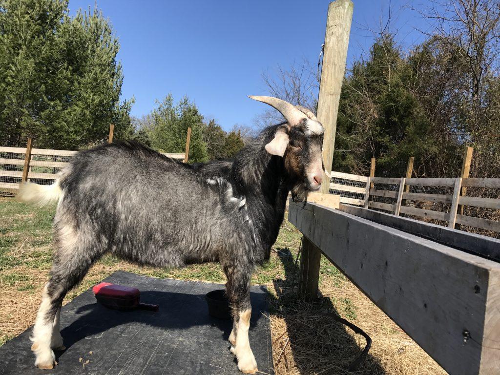 New Zealand Kiko Goats